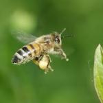 bijen royal gelly